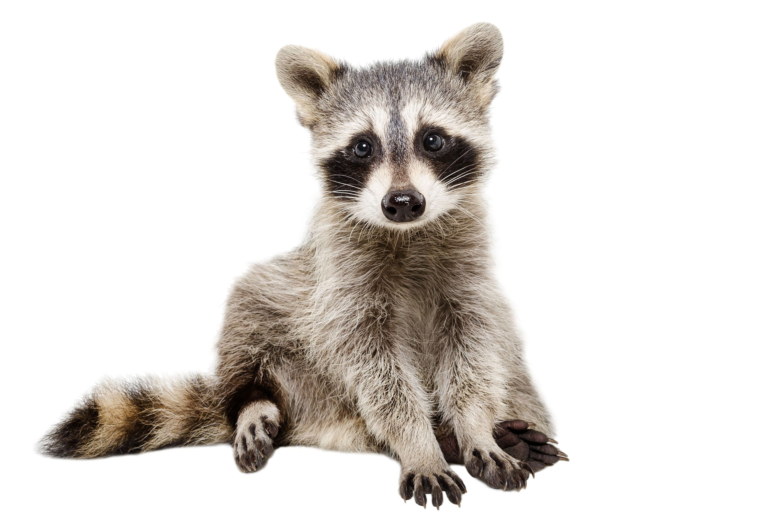 Curious baby raccoon sitting down