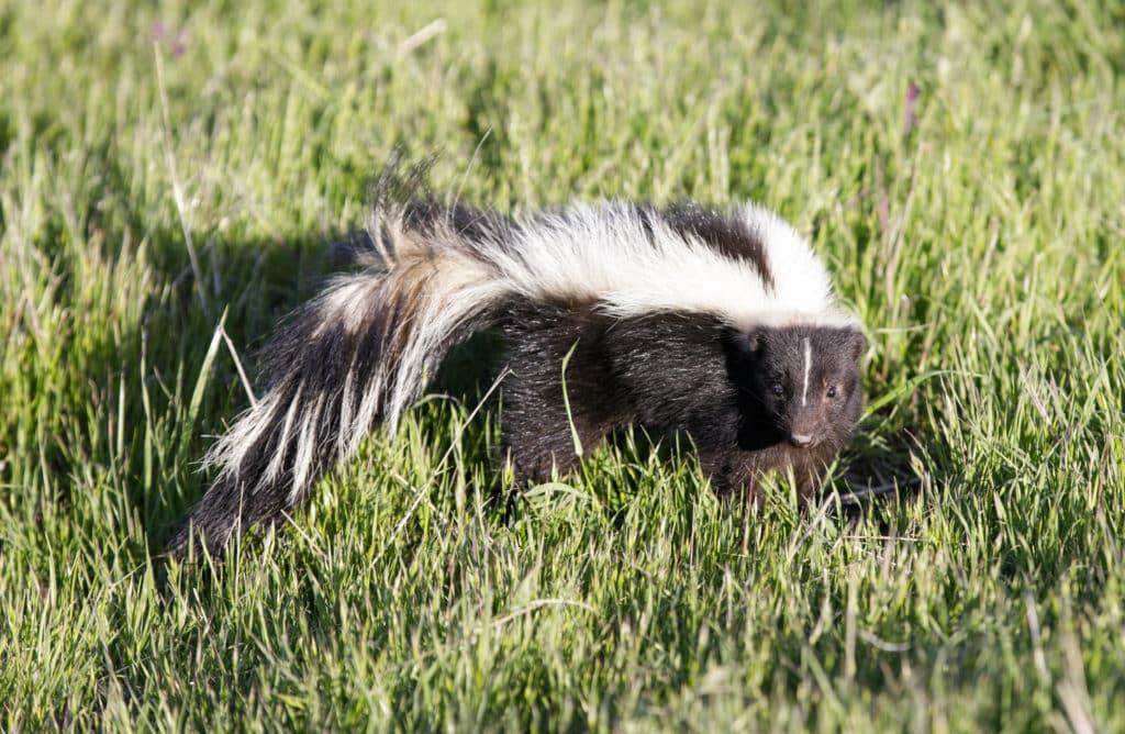 Humane Skunk Removal