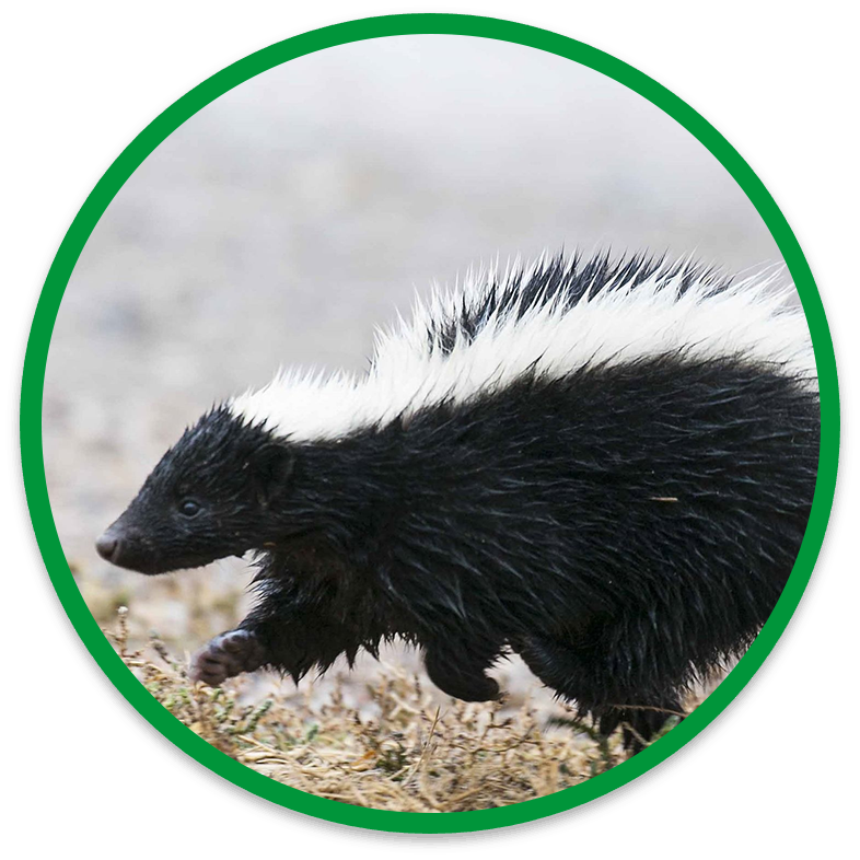 Why Choose Our Humane Skunk Removal Service