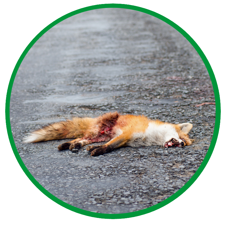 Dead fox lying on wet roadside of Hamilton highway