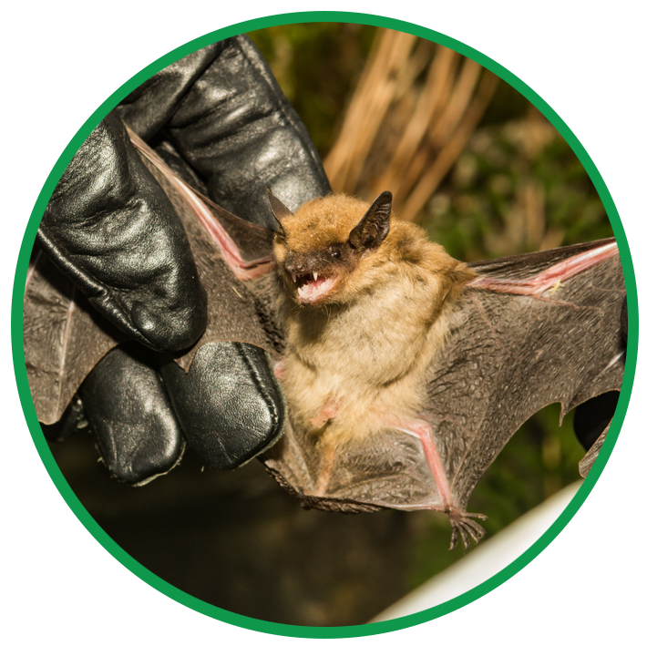 Gloved wildlife removal expert checking bat for white nose syndrome
