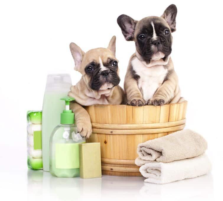 Two bulldog puppies sitting in bamboo bath bucket