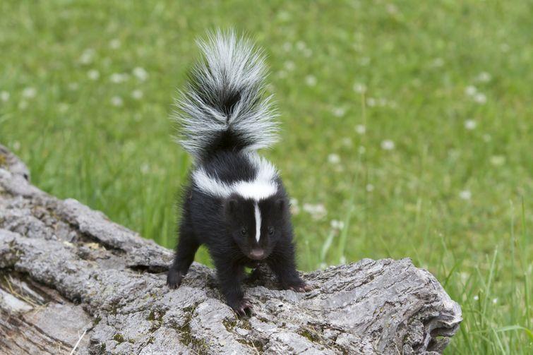 Baby skunk standing on log in Burlington backyard
