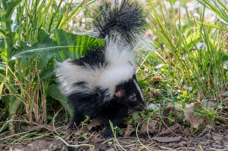 Baby skunk walking through grassy field