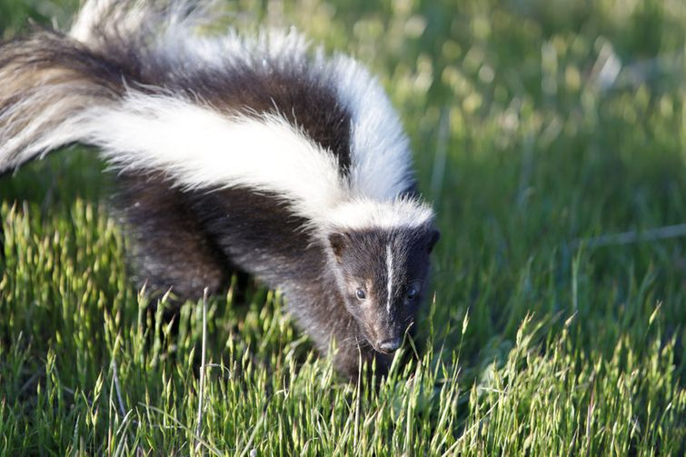 Angry mother skunk cautiously walking through field