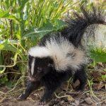 Cute baby skunk stumbling through weeds beside sidewalk