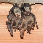Cluster of bats hanging upside-down in Burlington attic