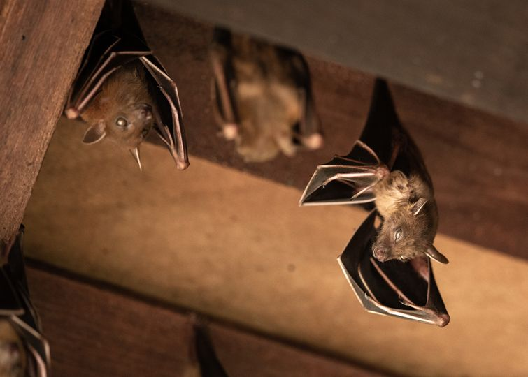 Four brown bats hanging from rafters of Burlington attic