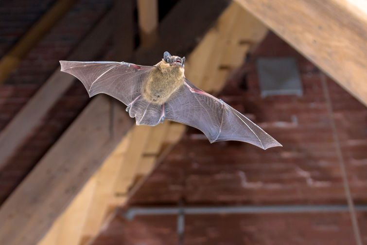 Small brown bat flying under roof of Burlington attic