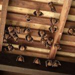 Little brown bats hanging in attic rafters of Burlington home