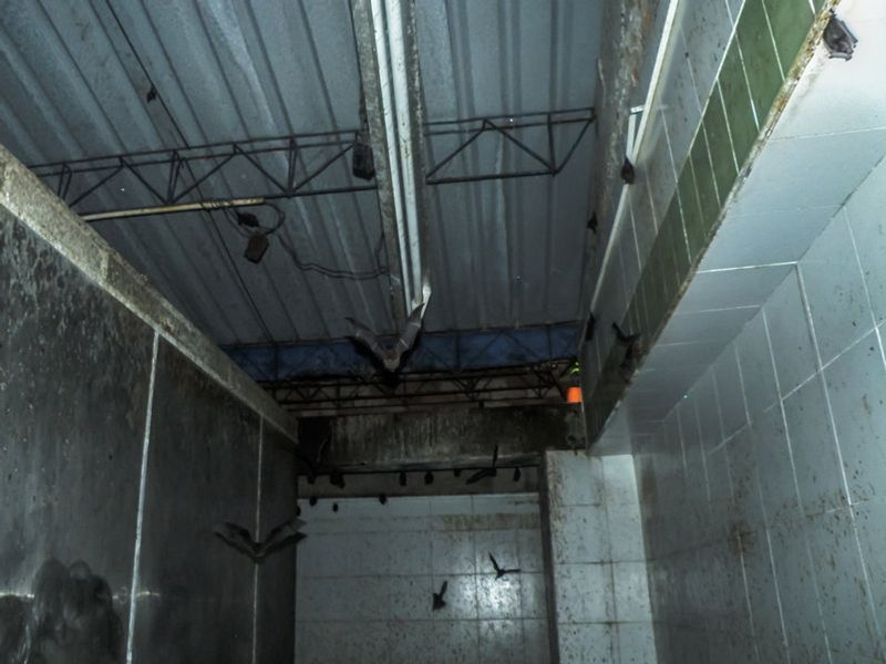 Three bats flying around dusty basement in Burlington home